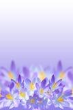 Violette Frühlingskrokusblumen auf unscharfem Hintergrund Stockbilder