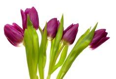 Violette Frühlingstulpen Stockfotografie