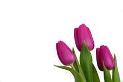 Violette Frühlingstulpen Stockfotos