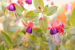 Violette Fuchsie, Hintergrundbeleuchtung Stockbild