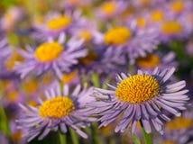 Violette Gänseblümchen Lizenzfreies Stockfoto
