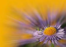 Violette Gänseblümchen Lizenzfreies Stockbild