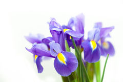 Violette gelbe Iris blueflag Blume Stockbild