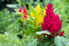 Violette, gele en rode amaranthus Royalty-vrije Stock Foto