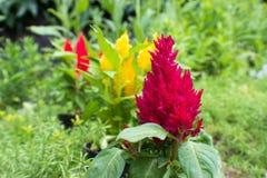 Violette, gele en rode amaranthus Royalty-vrije Stock Fotografie