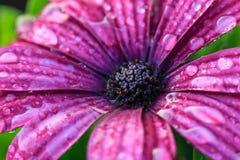 Violette gerberabloem op witte achtergrond met het knippen van weg Stock Foto