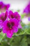 Violette Germaniumblume von anderen auf grünem Laubba Stockfotos