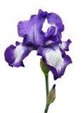 Violette geïsoleerde irisbloem Stock Foto
