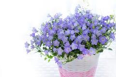 Violette Glockenblume carpatica Blumen im weißen backround Stockbild