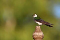 Violette grüne Schwalbe Lizenzfreies Stockfoto