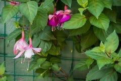 Violette hangende bloem Stock Foto