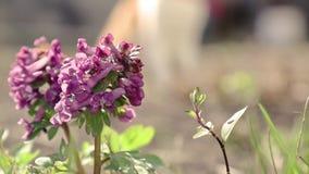 Violette het bloeien corydalis in lichte wind stock video