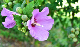 Violette hibiscusbloemen met regendalingen stock fotografie