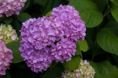 Violette Hortensieblumen Lizenzfreies Stockbild