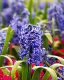 Violette hyacint royalty-vrije stock foto's