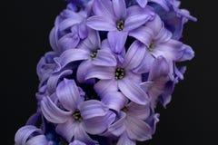 Violette Hyazinthenblumen auf Schwarzabschluß oben Stockfotografie