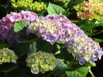 The violette hydrangea flowers with nice light Royalty Free Stock Images