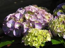 The violette hydrangea flowers with nice light Stock Photos