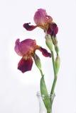Violette iris Royalty-vrije Stock Afbeeldingen