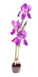 Violette iris Stock Afbeeldingen