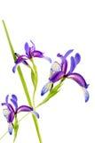 Violette Iris auf dem weißen Hintergrund lokalisiert Lizenzfreies Stockbild