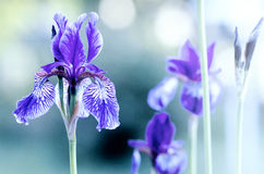 Violette Iris auf unscharfem Hintergrund Stockbild