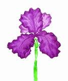 Violette iris, het schilderen Stock Fotografie