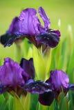 Violette Iris mit unscharfem Hintergrund Stockbild