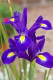 Violette irisbloem royalty-vrije stock foto