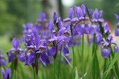 Violette irisbloemen in park Royalty-vrije Stock Afbeeldingen