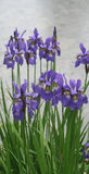 Violette irisbloemen in park Stock Fotografie