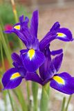 Violette Irisblume lizenzfreies stockfoto