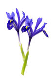 Violette Irisblume auf dem weißen Hintergrund lokalisiert Lizenzfreie Stockfotografie