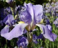 Violette Irisblume auf grünem Gartenhintergrund lizenzfreies stockbild