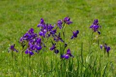 Violette Irisblumen in einem botanischen Garten Lizenzfreies Stockfoto
