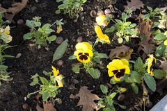 Violette jaune Photos stock