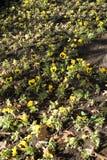 Violette jaune Photos libres de droits