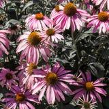 Violette kamillebloemen Royalty-vrije Stock Foto's