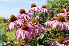 Violette Kamillenblumen Lizenzfreies Stockbild