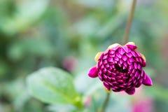 Violette knop royalty-vrije stock foto's