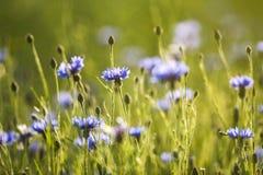 Violette korenbloemen die op een de zomerweide bloeien Stock Fotografie