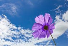 Violette Kosmosblumen Stockfoto
