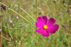 Violette Kosmosblumen auf dem Gebiet Stockfotos
