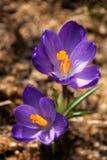 Violette krokus Stock Afbeeldingen