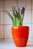 Violette krokus stock afbeelding