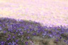 Violette Krokus Royalty-vrije Stock Afbeeldingen