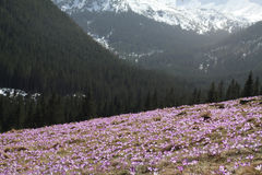 Violette krokus in berg Royalty-vrije Stock Afbeelding