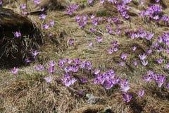 Violette krokus in berg Royalty-vrije Stock Afbeeldingen