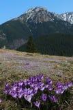 Violette krokus in berg Stock Afbeeldingen