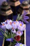 Violette Krokusse stockbilder